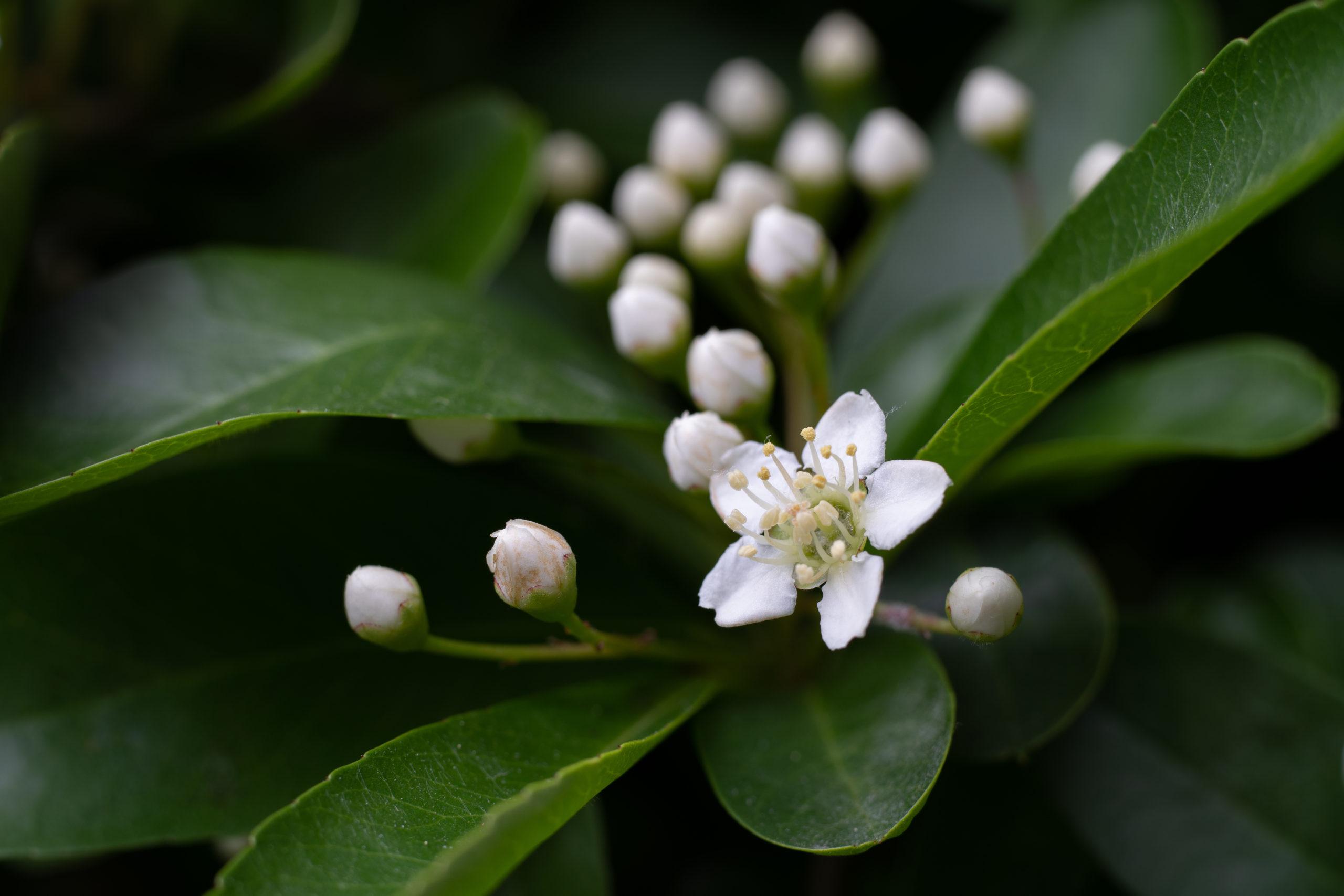ピラカンサス(Firethorn)4月から5月に沢山咲かせる小さな白い花を撮影