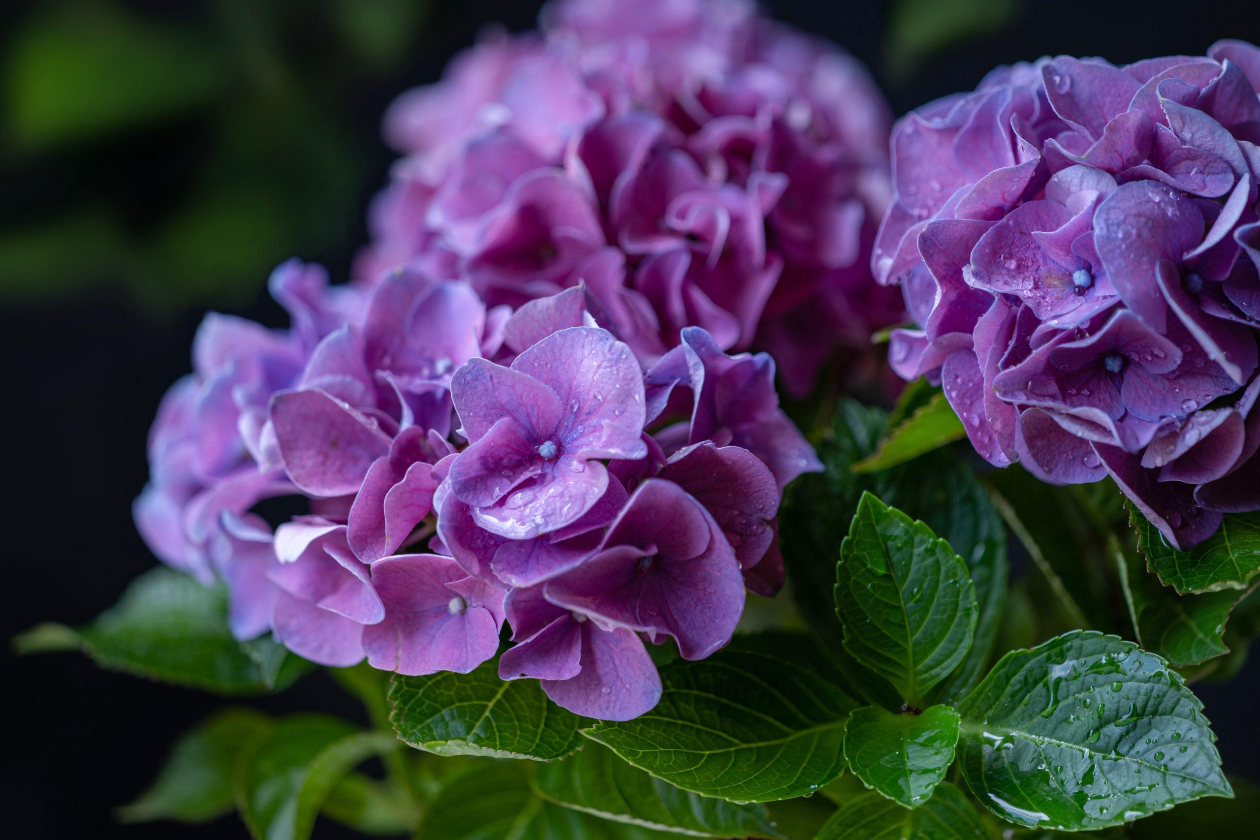 男梅雨の紫陽花