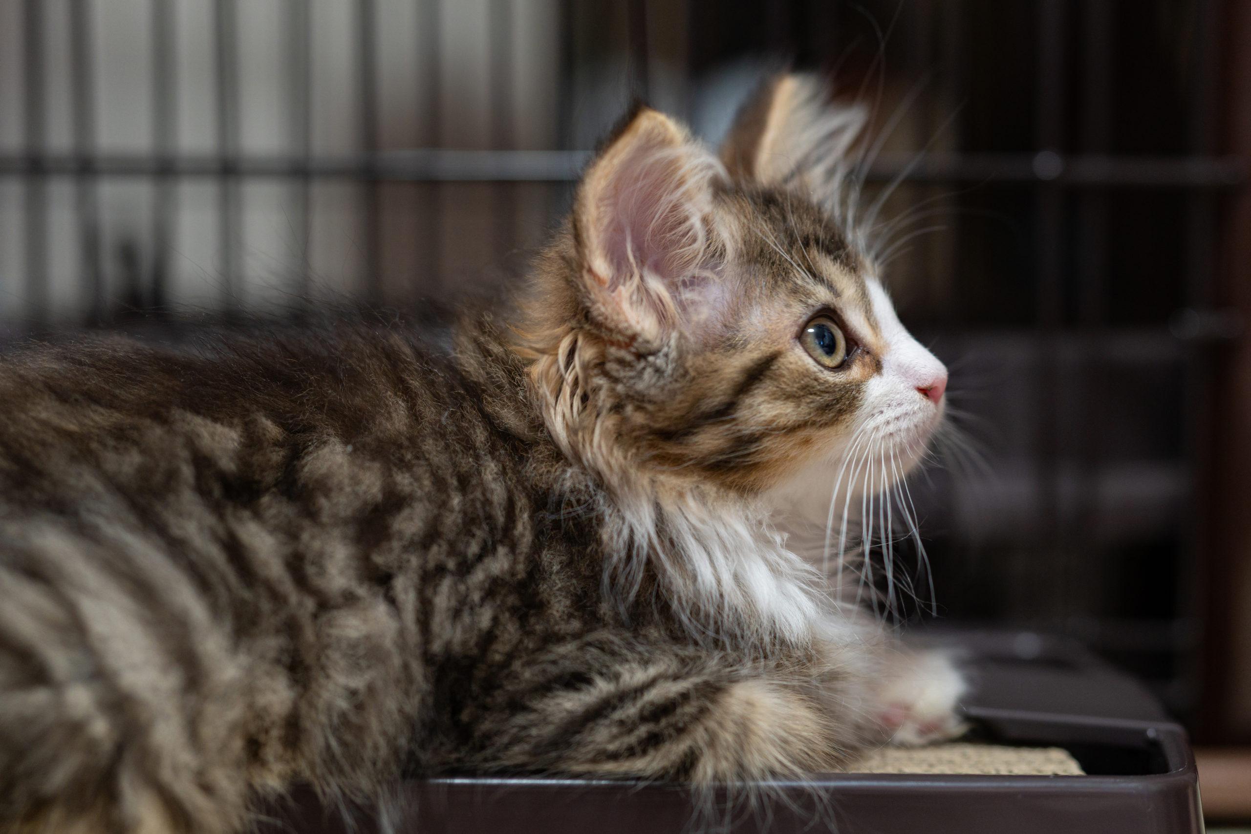 Norwegian forest cat profile