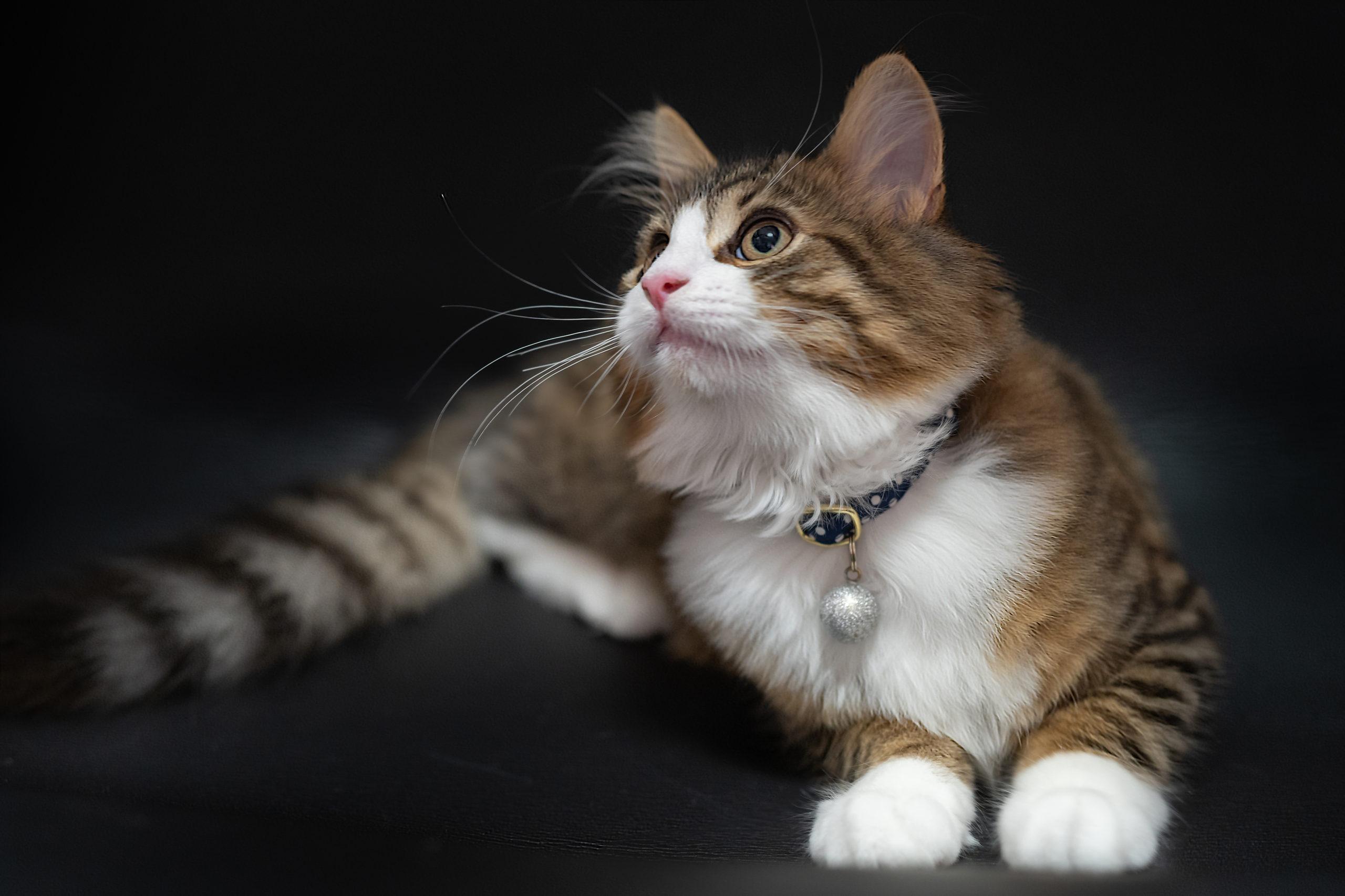 Norwegian forest cat looking up