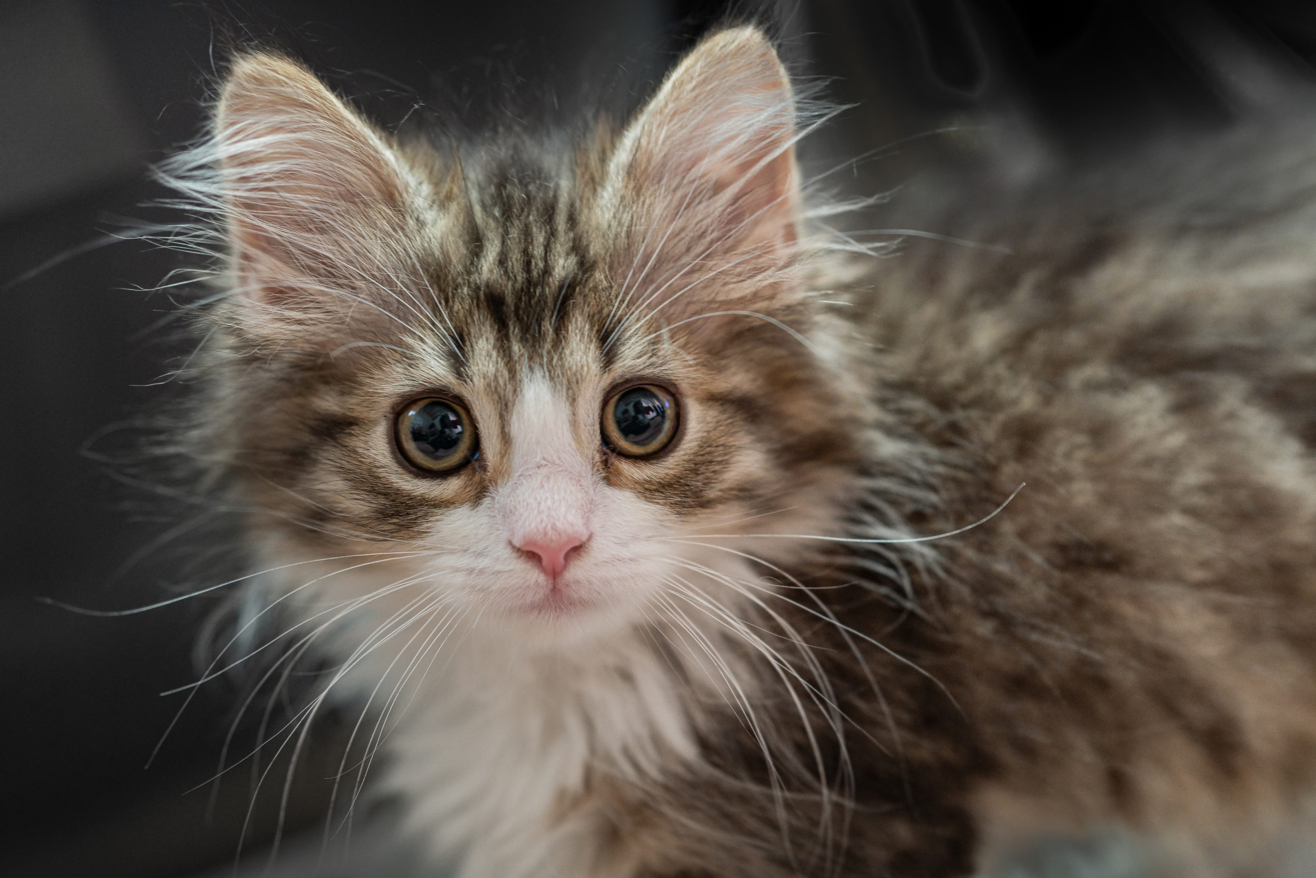 Norwegian forest cat brown tabby and white
