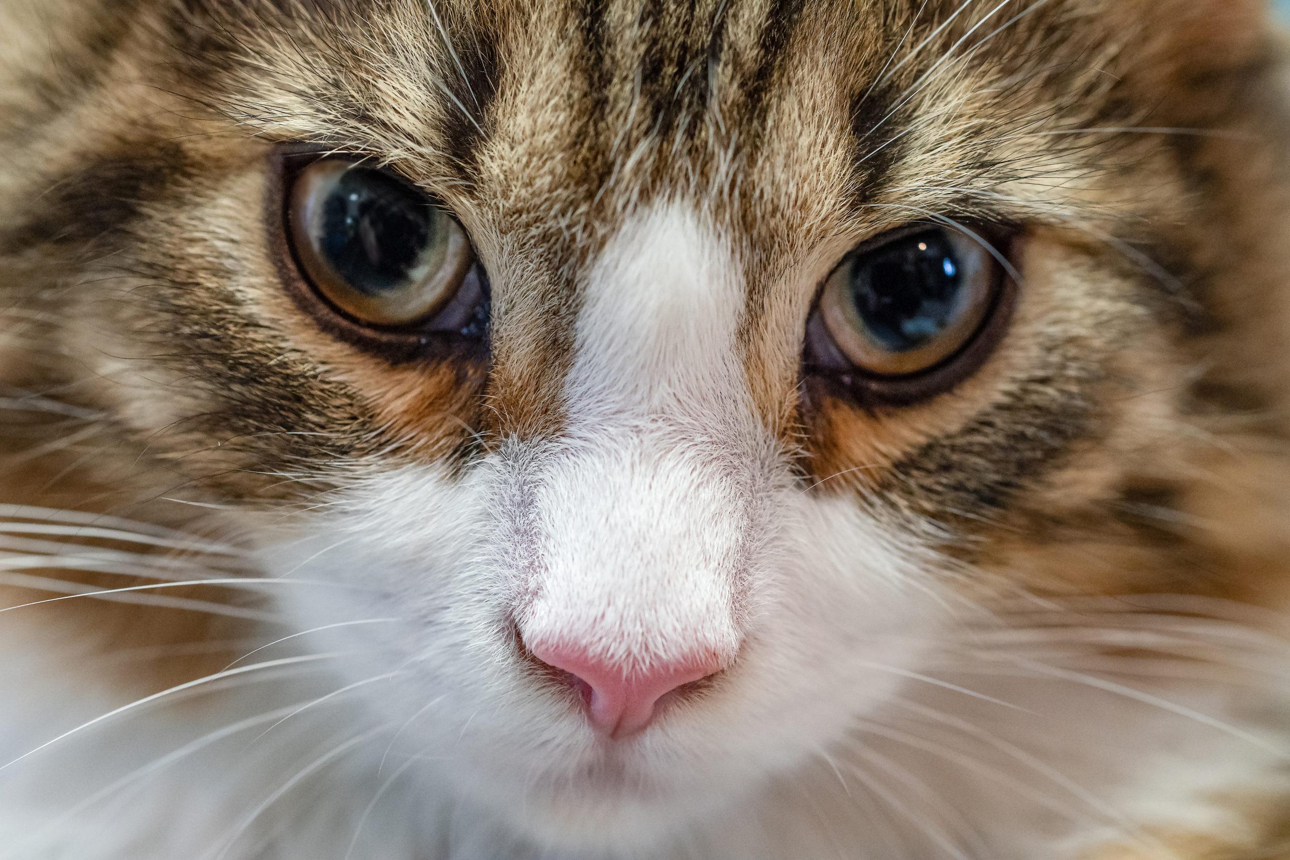 Norwegian forest cat glared